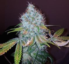 Nordic Jack from Bonza Seeds