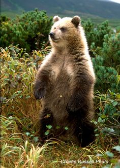 A young Brown (Grizzly) Bear Cub, age-18 or 19 months.    location - Kamchatka, Russian Federation.  Photographer - Charlie Russell  http://www.cloudline.ca/