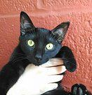 Delilah Female Black 8 Months  Background: Delilah was found in a Baltimore City alley when she was a little kitten.  Personality: This sweet kitten is desperate for a human connection. She'll climb all over you and purr up a storm.
