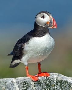 Atlantic Puffin by Herb Houghton