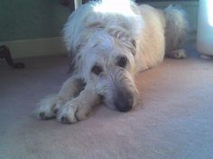 Irish Wolfhounds, Gentle Giant, Best Dogs, Dog Cat, Puppies, Pets, Animals, Happy, Cubs