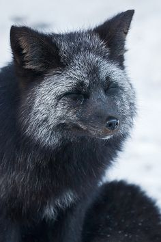 Silver Fox  - photo by Lee Rentz - Gorgeous.
