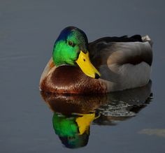 mallard ducks | Male Mallard Duck