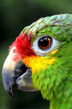 Red-headed Amazon parrots have actually become naturalized in Florida and California.
