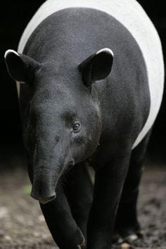 Sociedade de Zoologia de Londres listou os cem mamíferos mais peculiares do mundo que correm risco de extinção. Na foto, malayan/asian tapir (anta asiática).  Fotografia: ZSL.