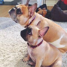 French Bulldog Dad and Daughter, Batpig & Me Tumble It