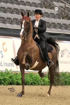 .American Saddlebreds...