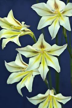 Night Gladiolus (Gladiolus tristis)