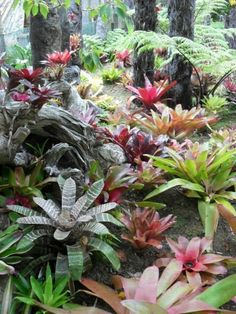 Bromeliad garden under bungalow palm