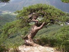 '소나무그림'의 네이버 이미지검색 결과입니다.