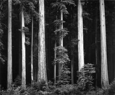 Ansel Adams, Redwoods, Bull Creek Flat, Northern California, 1960