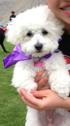 My favorite Maltipoo. Adorable!!