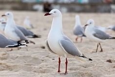 Image result for seagulls australia