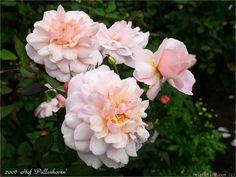 'Irène Watts ' Rose Photo, or is it Pink Gruss An Achen?