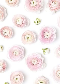 Shay Cochrane / In the shop: Light Pink Ranunculus Styled Stock My Flower, Flower Art, Pretty In Pink, Pink Flowers, Beautiful Flowers, Rosa Rose, Deco Floral, Ranunculus, Iphone Wallpaper