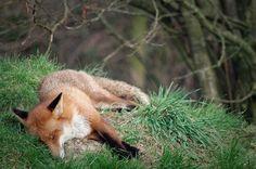sleepy fox by claudia carvalho, via Flickr