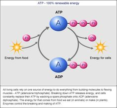 Image Detail for - ... breathe, is to get the energy to recycle ATP from ADP and phosphate