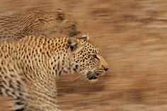 Luxury Safari South Africa I Leopard Safari I Big Cats Safari Photography Gallery, Wildlife Photography, Art Photography, Learn Photography Online, Herd Of Elephants, Special Images, Photographic Prints, Big Cats, Safari