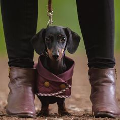 washable #dachshund coat