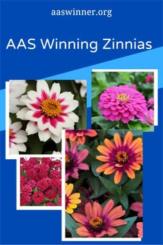 AAS Winning Zinnias are perfect for your garden and containers - easy to grow, beautiful flowers and so many varieties - All-America Selections Growing Flowers, Cut Flowers, Zinnia Elegans, Small Space Gardening, Gardening Tips, Dwarf Plants, Natural Ecosystem, Organic Fertilizer, Zinnias