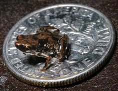 Miniscule: This tiny frog, believed to be the smallest vertebrate on Earth, has been discovered by scientists in Papua New Guinea