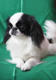 Japanese Chin Grooming, Bathing, and Care: