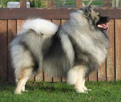 Keeshond Dog Breed Puppies