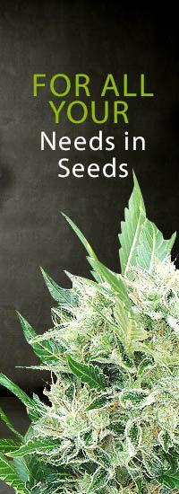 Autoflowering Seeds http://www.ministryofcannabis.com/autoflowering-seeds