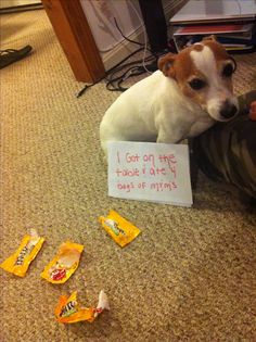 """""""I got on the table and ate 4 bags of peanut M&M's."""" ~ Dog Shaming shame - Jack Russell Terrier - Looks so Ashamed!"""