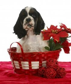 Cocker Spaniel  Merry Christmas Card Hound Puppy Holiday Dogs Santa Claus Dog Puppies Spaniels