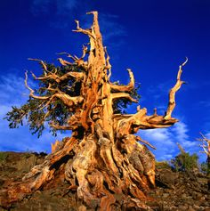 Image detail for -Gnarled roots and trunk of Bristlecone Pine on rocky hillside, Sierra Nevada mountains, White Mountains National Park, United States of America