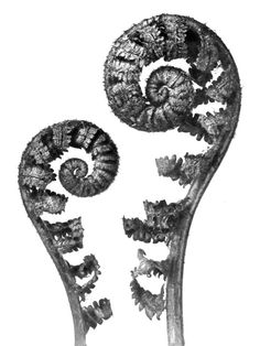 Photo Detail - Illustrated book, containing 96 photogravures by Karl Blossfeldt - Urformen der Kunst (Art Forms in the Plant World) Karl Blossfeldt, History Of Photography, Vintage Photography, Abstract Photography, White Photography, Albert Renger Patzsch, Cochin, Crosse, Natural Form Art