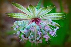 Astrantia Major Roma by Catcher In My Eye, via Flickr