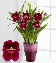 Smithsonian Glorious Daybreak Orchid