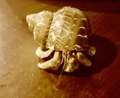 """Safety and Survival of Pet Hermit Crabs  - How to  """"crabby-proof"""" your household."""