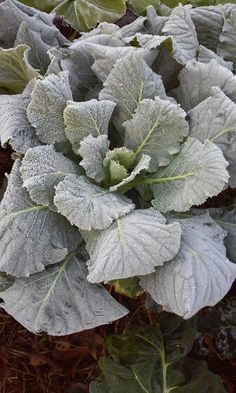Lovely Al frost on our collards