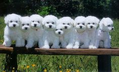 Lilywhite Bichon puppies... I want one