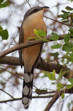 Bay-breasted Cuckoo (Coccyzus rufigularis)