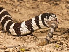 joe-mcdonald-california-kingsnake-lampropeltis-getula-californiae-eating-a-rattlesnake-crotalus-california.jpg 473×355 pixels