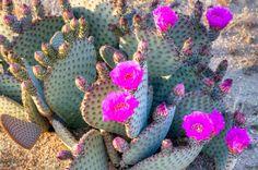 Lo sapevate che anche i cactus fioriscono?