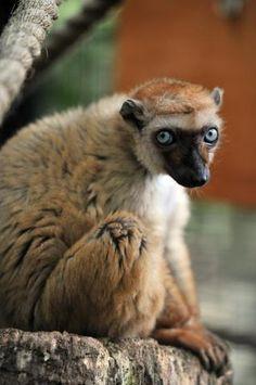 Blue-eyed black female Lemur
