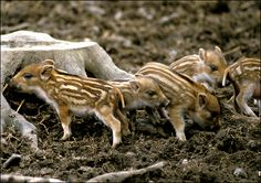 wild boar baby - Oooohhhh!  I think one of the animals should be a baby wild boar.