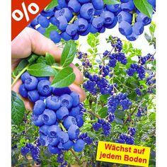 Trauben-Heidelbeere 'Reka® Blue', 1 Pflanze - BALDUR-Garten GmbH