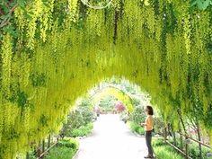 Laburnum arch at Bayview Farm and Garden.