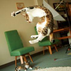 52 magnifiques photos de chats qui sautent 53 superbes photos de chats qui sautent jumping cats 17