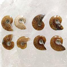Unique Office Gift Science Specimen Orthoceras Fossil