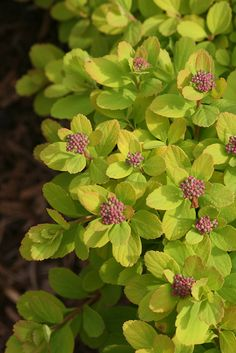 Red buds open to pure white blooms on the super hardy Glow Girl spirea. Garden Shrubs, Flowering Shrubs, Trees And Shrubs, Garden Pots, Garden Bed, Dwarf Plants, Hardy Plants, White Plants, Colorful Plants