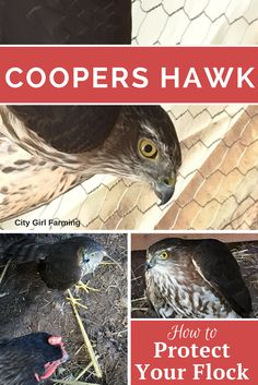 Coopers hawks pose a real threat to your free ranging flock. Learn how to best protect them.