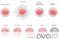 Find Fertilized Cell Development Stages Fertilization Till stock images in HD and millions of other royalty-free stock photos, illustrations and vectors in the Shutterstock collection. Fertility, Vectors, Adobe, Royalty, Explore, Baby, Trying To Conceive, Eggs, Pregnancy