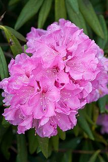 Pink Rhododendron...my mom would plant these bushes at home.